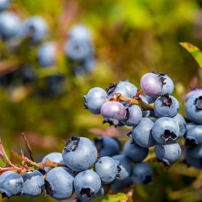 Everstrong Blueberries