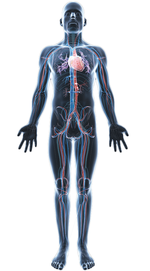 Human Body Png Human Body Icon Png